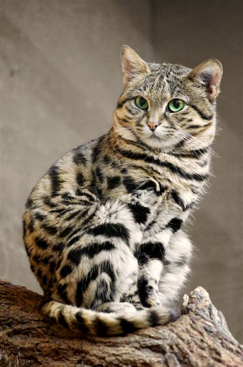 zoo cat footed african cats wild smallest chat felis pied nigripes primolo wuppertal nice spotted pieds noirs kitten feet south