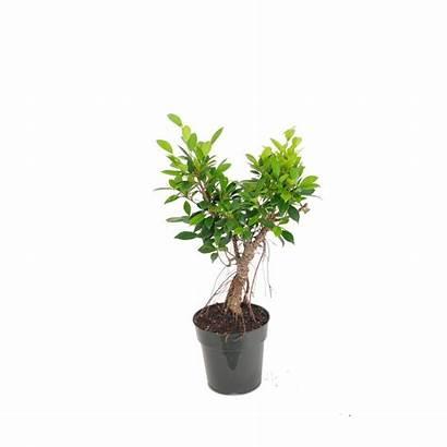 Bonsai Ficus Retusa Tall Banyan Nursery United