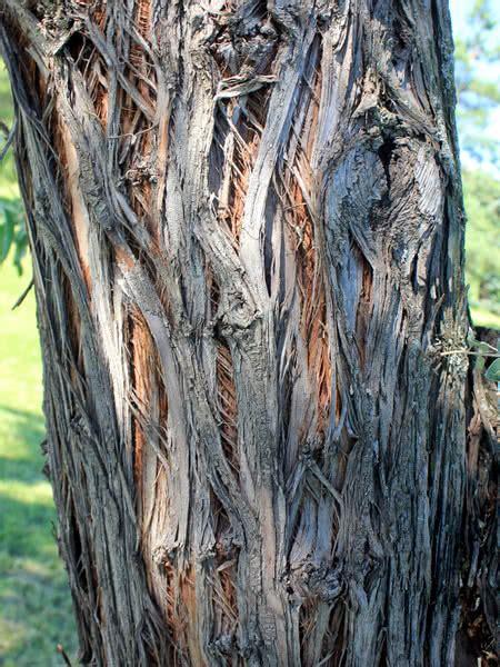 russian olive  sale treetimeca
