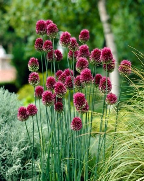 drumstick allium bulbs when all is dead and gone alliums are your fallback pal