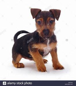 Rough coated Jack Russell Terrier puppy, black and tan ...