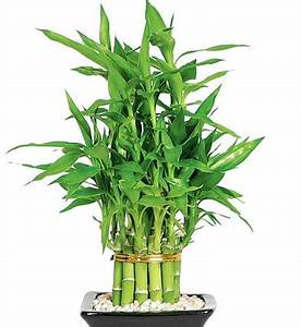 Lucky, Bamboo, Plant, Live, Indoor, Plant