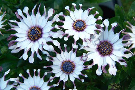 flower secret osteospermum 39 philip 39 gardenersworld