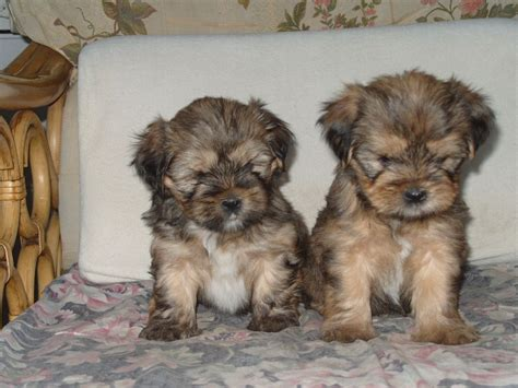 do shorkie poos shed shorkie puppies in colorado breeds picture
