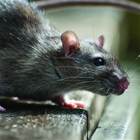 palm rats roof rats catseye pest control