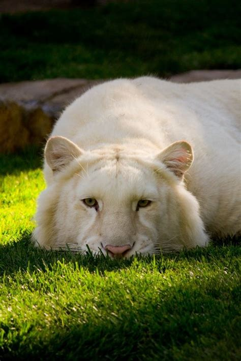 Some Golden Tigers Carry The White Tiger Gene When
