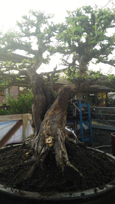 kesan tua bonsai sisir centralbonsaicom berbagi ilmu