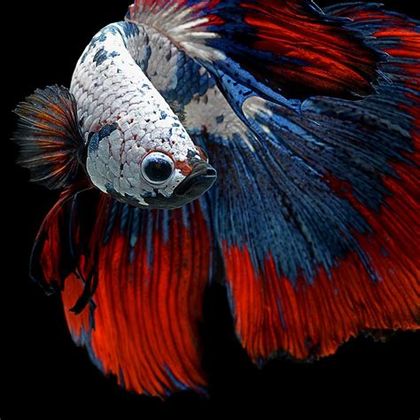 iphone  announced  betta background  tropical