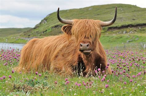 A Highland Cow (heilan Coo), Doune Braes Hotel, Isle Of Le