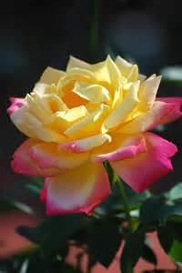 Yellow Rose with Pink Tips
