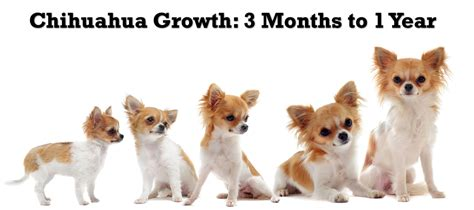 chihuahua puppy growth chart