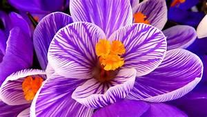 Wallpaper Crocus flower, Purple flower, HD, Flowers, #6730