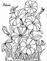 Coloring Adult Petunias sketch template