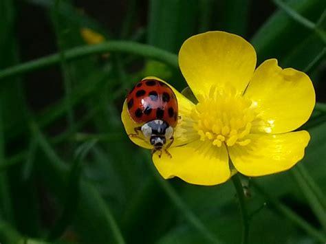 ladybug   flower  stock photo public domain pictures