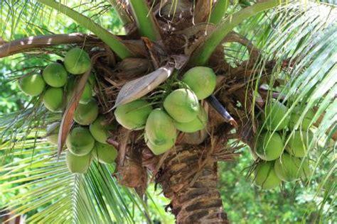 cocos palme pflege kokospalme cocos nucifera pflege vermehrung tipps mein sch 246 ner garten