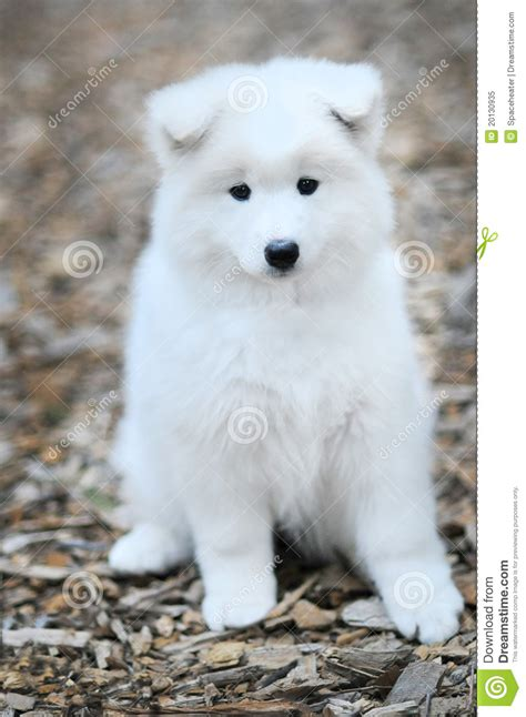 Samoyed Puppy Stock Image Image Of Bark Companion White