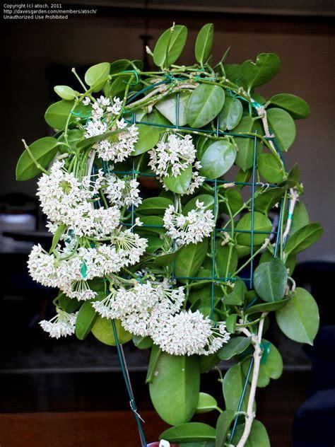 images  hoya plants  pinterest