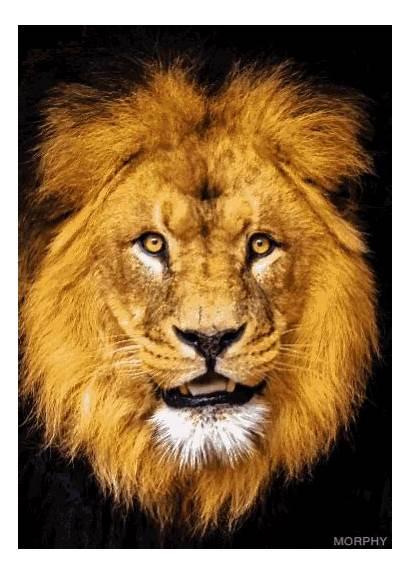 Lion Scary Face Gifs Morph Lionface Tenor