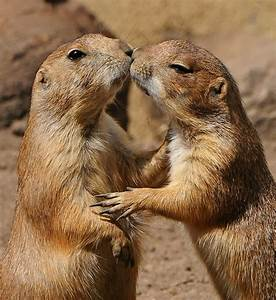 17 best images about Prairie Dogs Kissing & Hugging on ...