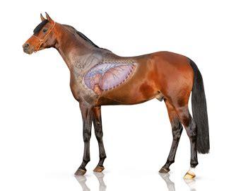 jedes vierte pferd  deutschland leidet  einer