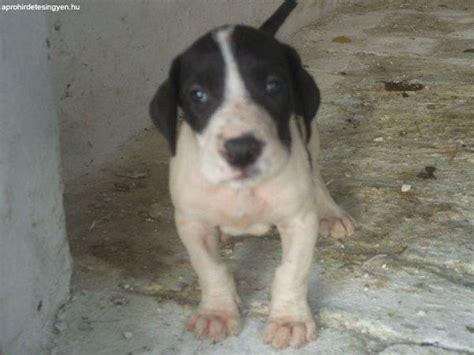 elado nemeth dog kis kutyak elado dog  kunmadaras
