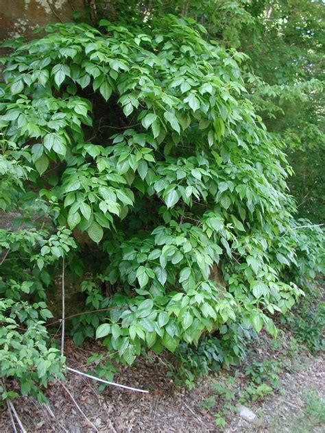 Toxicodendron Poison Ivy Ivy Poison Oak Poison