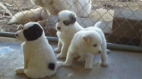 rambo myas husky newfoundland mix puppies youtube