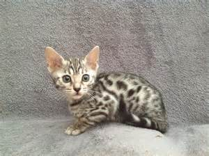 silver bengal cat silver bengal with free carry box scratcher