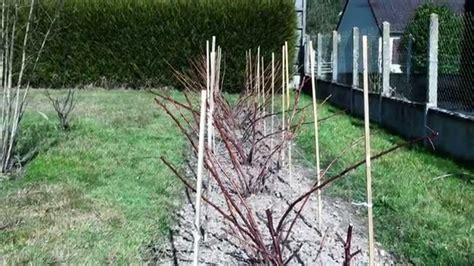 comment planter des framboisiers