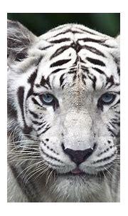 Download White Tiger Wallpaper 1920x1080 | Wallpoper #438711