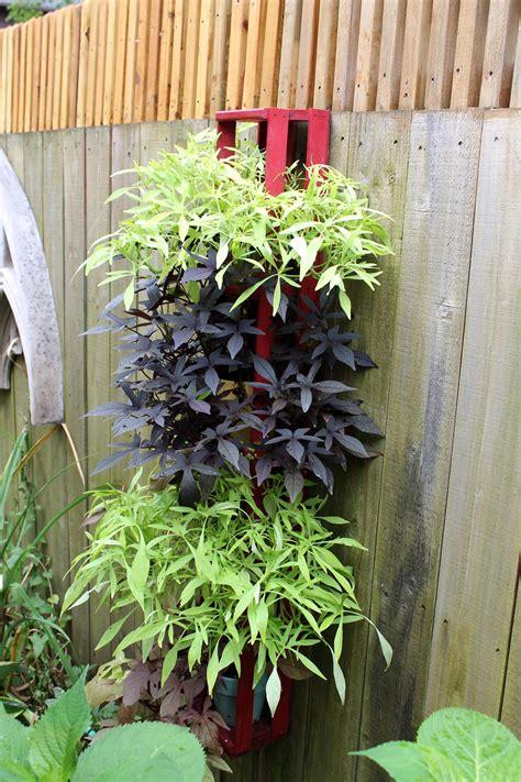 ornamental sweet potato vine garden housecalls - Decorative Potato Plant