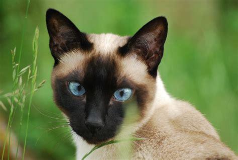 The Siamese Cat  An Oriental Talkative Treasure Pets4homes