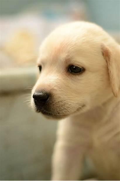 Labrador Puppy Retriever Mz7 Commons Wikimedia