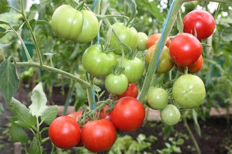 Amatieris (tomātus sēklas, 20 gab.) - Kolekcijas jaunākās ...