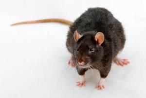 Comment Se Debarrasser Des Rats : exterminateur de rats noirs infestation montr al ~ Melissatoandfro.com Idées de Décoration