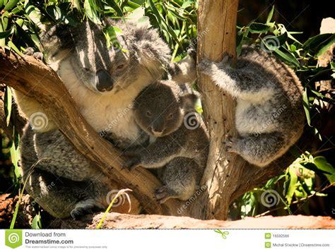 koala family royalty  stock image image