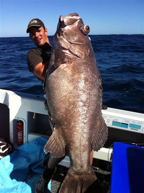 bass groper 46kg fishing fishwrecked record pb