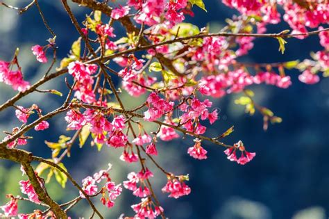 Close Up Branch Of Pink Cherry Blossom Stock Photo Image