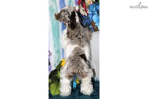 Just arrived and as precious as can be. Wisdom: Cocker Spaniel puppy for sale near Denver, Colorado. | dd6d8a26-5881