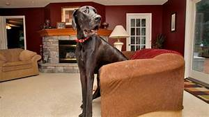 Guinness World Record's tallest dog Zeus the Great Dane ...
