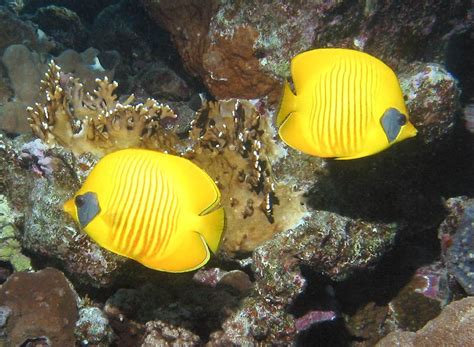 animals world  downloading   butterfly fishes
