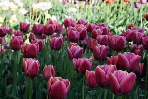 Latviešu radītas tulpju šķirnes cieņā arī Nīderlandē - šo ...