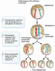 The chromosomal basis of allele segregation. - Biology ...