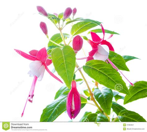 fuchsia flower with bud isolated on white background royalty free stock photography