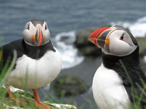 islands schoenster vogel wissenswertes ueber den