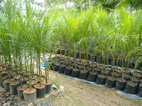 Tipos de Mudas de Palmeiras – Flora das Palmeiras