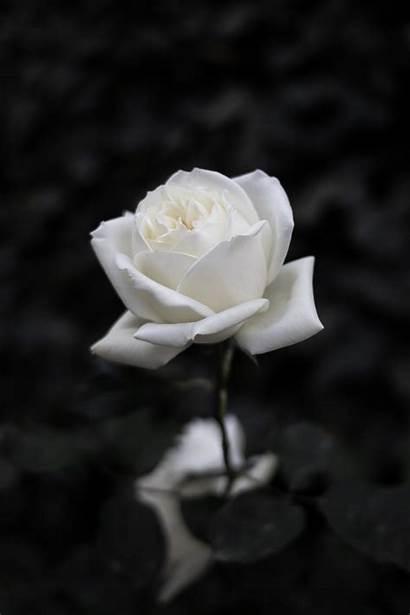 Rose Flower Background Bw Bloom Unsplash Nokia
