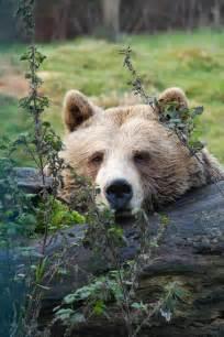 Resting Brown Bears