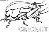 Cricket Coloring Pages Insects Drawings 12kb 649px 1000 sketch template