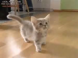how much are munchkin cats munchkin baby kitten talks much